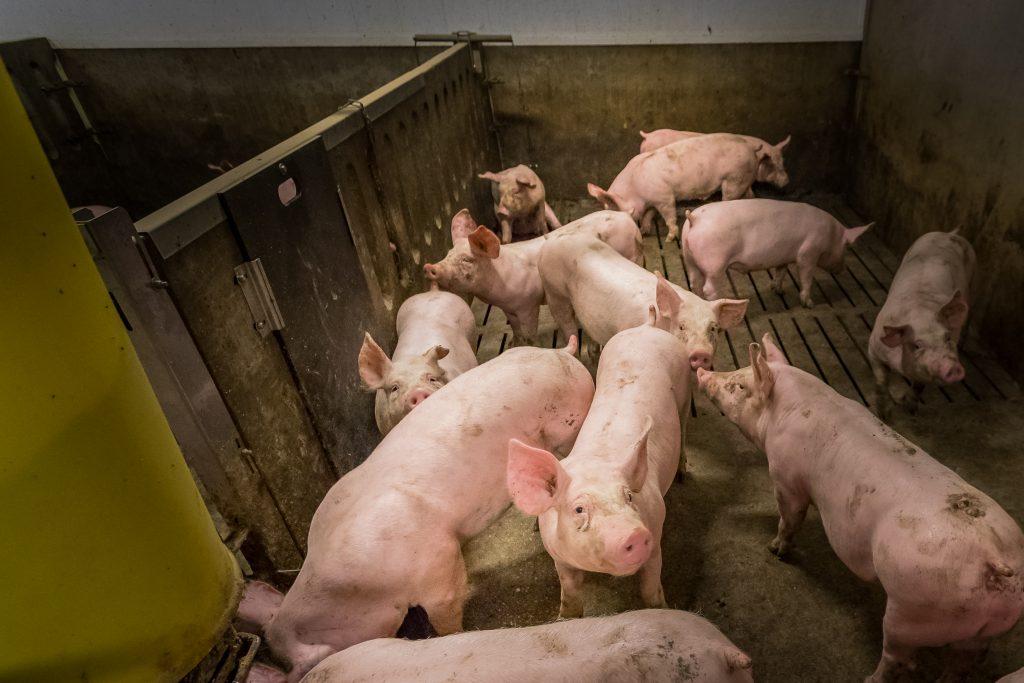 vacature varkenshouderij