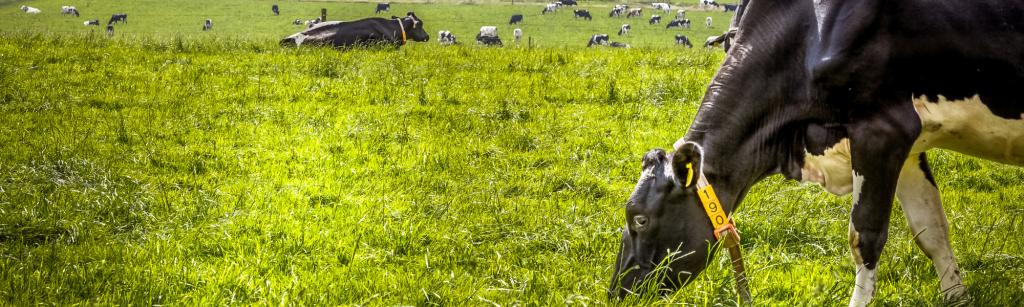 melkveehouderij koeien
