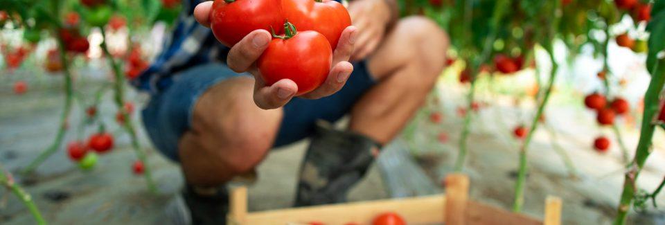tomatenkwekerij vacature